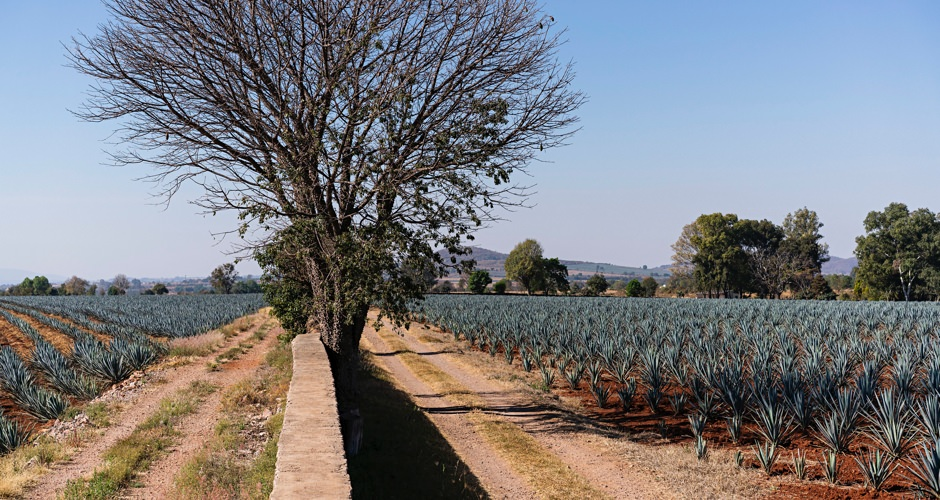 Agave Fields of Jalisco, Mexico