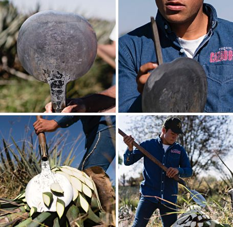 Hand Harvesting Agave Plants