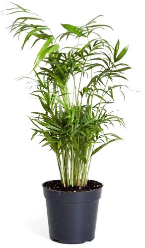 Parlor Palm Houseplant