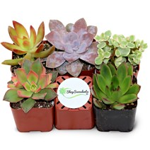 Shop Succulents Five Pack