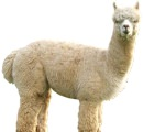Why You Want an Alpaca Sweater | Valet.