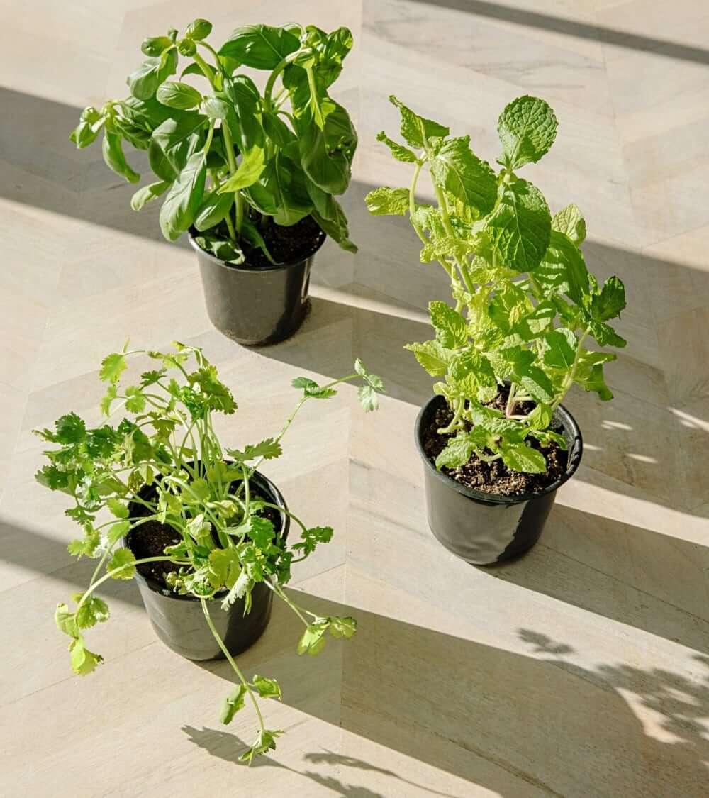Growning herbs at home